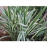 Flax Lily Dianella Tasmanica Variegata Qty 15 Live Plants Evergreen Shade Loving Grass