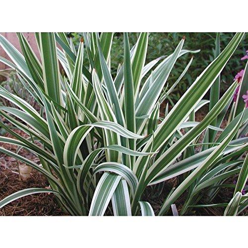 Flax Lily Dianella Tasmanica Variegata Qty 15 Live Plants Evergreen Shade Loving Grass by Florida Foliage