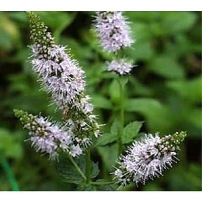 1, 000 Peppermint Herb Seeds #GSB13 : Garden & Outdoor