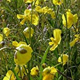 Plant World Seeds - Ranunculus gramineus Seeds