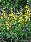 Decadence Lemon Meringue Baptisia - False Indigo - Proven Winners - Gallon Pot