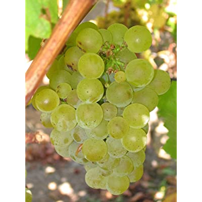 Vitis vinifera Chardonnay Wine Grape Seeds! : Garden & Outdoor