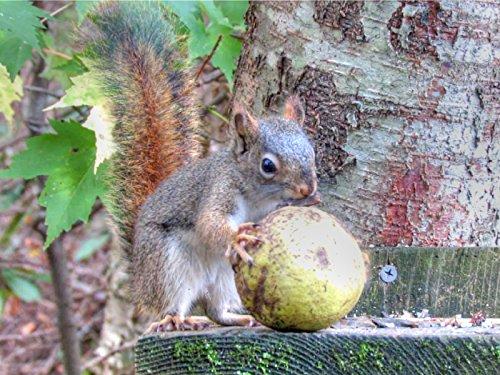 That Squirrel - Red Squirrel And A Big Walnut