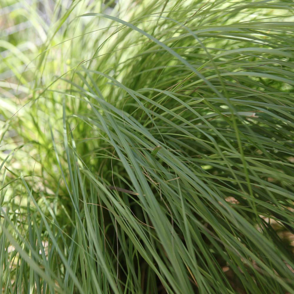Outsidepride Weeping Lovegrass Seed for Erosion Control, Forage, Ground Cover - 2 LB by Outsidepride