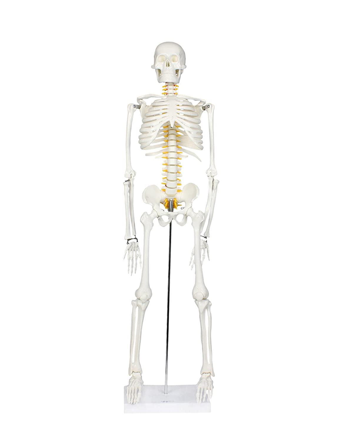 Walter Products B10205 Human Skeleton Model With Nerves Labeled