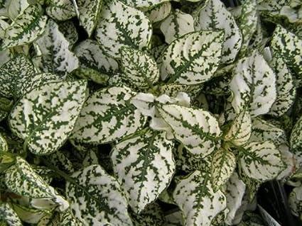 Amazon 25 hypoestes polka dot plant splash white flower seeds 25 hypoestes polka dot plant splash white flower seeds shade loving mightylinksfo