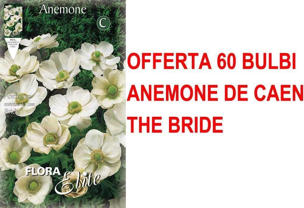 Portal Cool Oferta Otoño 60 Bombillas Anémona Coronaria la novia Bulbos Bulbes