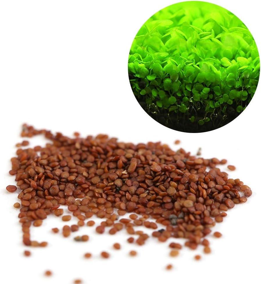 Semillas de Plantas Acuáticas Hemianthus Callitrichoides - Mini Leafs Fácil de Cultivar Decoración para Tanque de Peces Acuario Pond (Size : L)