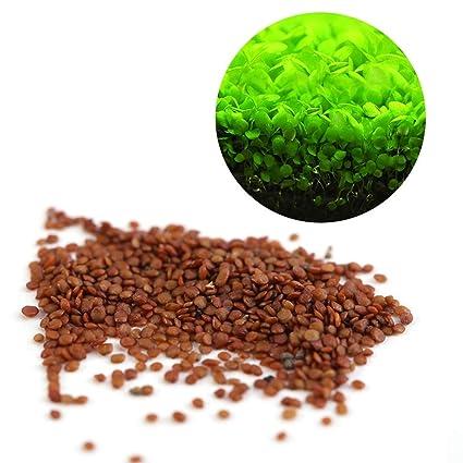 Semillas de Plantas Acuáticas Hemianthus Callitrichoides - Mini Leafs Fácil de Cultivar Decoración para Tanque de