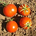 Tomato Garden Seeds - Glacier - Non-GMO, Heirloom, Vegetable Gardening Seed