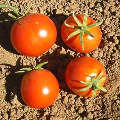 Tomato Garden Seeds - Glacier - Non-GMO, Heirloom, Vegetable Gardening Seed