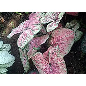 Pink Illusion Fancy Leaf Caladium 3 Bulbs - #1 Size