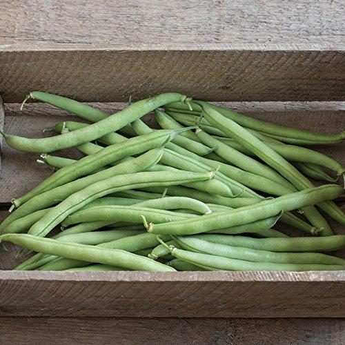 David's Garden Seeds Bean Bush Provider D010A (Green) 100 Coherent Heirloom Seeds