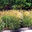 Outsidepride Miscanthus Grass 500 Seeds 1