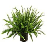 Kimberly Queen Fern in Pot