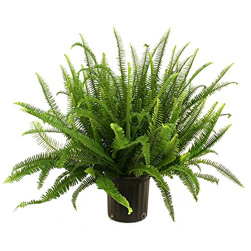 Costa Farms Kimberly Queen Fern in 8.75-Inch Grower Pot