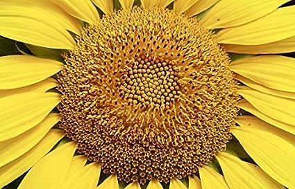 "Poster 24/"" x 36/"" Sunflower Close Up"