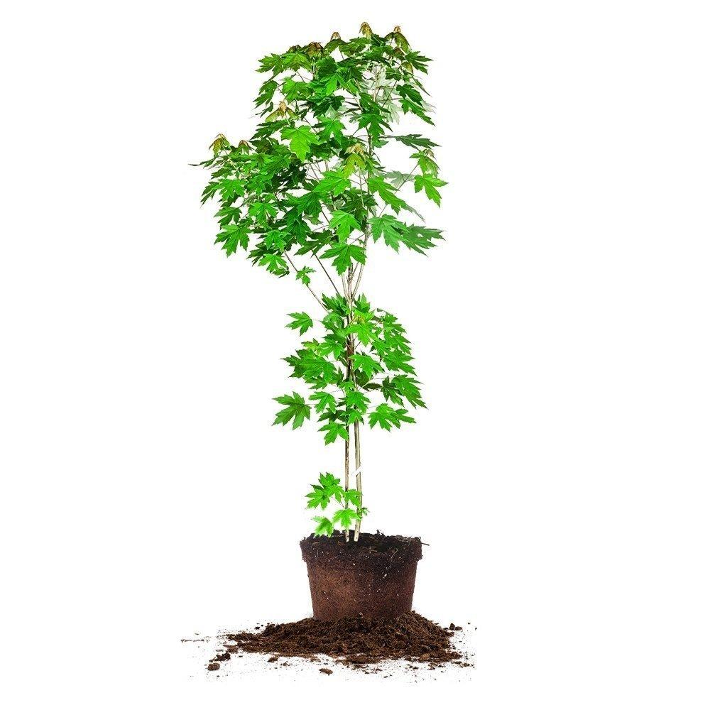 AUTUMN BLAZE MAPLE - Size: 3-4 ft, live plant, includes special blend fertilizer & planting guide