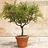 Arbequina Olive Tree - Get Olives 1st Year with Large Trees - Up to 6 ft. Tall!