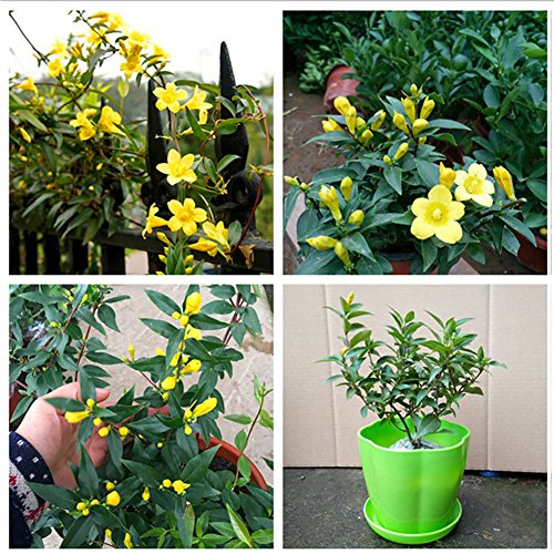 Afco 100Pcs Garden Yellow Jasmine Seeds Light Fragrant Potted Flower Blooming Plant Wonderful Gardening ()