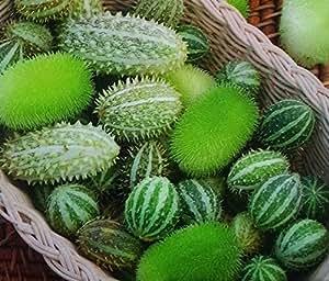 Semillas mezcladas ornamentales del pepino - Cucumis dipsaceus