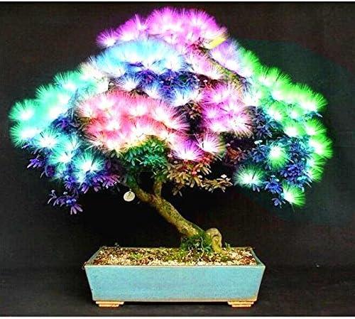 20  seed Rainbow Maple Bonsai Tree Plants Bonsai Flower... Rare Japanese Maple