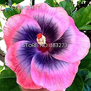On Sale *** 100pcs Hibiscus Seeds Hibiscus Rosa-sinensis Flower Seeds Multi Colored Petals Flores Tree Seeds Potted Plants Home