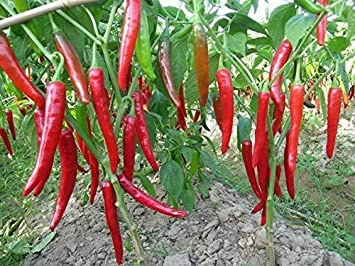 Chilli/Pepper Hybrid Seeds Perfect for Home Gardeners- 50 Seeds Pack by Go green
