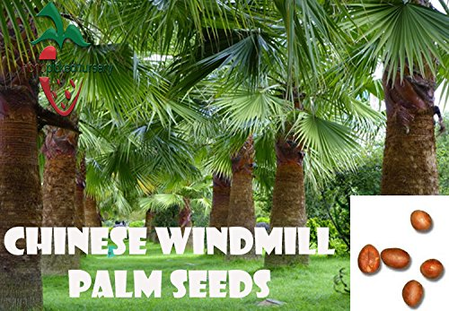 (25 Chinese Windmill Palm seeds, ( Trachycarpus fortunei ) from Hand Picked Nursery)