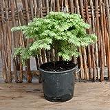 Tsuga canadensis, Moon Frost, Hemlock for Miniature Garden, Fairy Garden