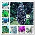 Hot 20 pcs Pencil Point Juniper Seeds Rare Arborvitae Cypress Tree Seeds Perennial Plant ITALIAN cypress