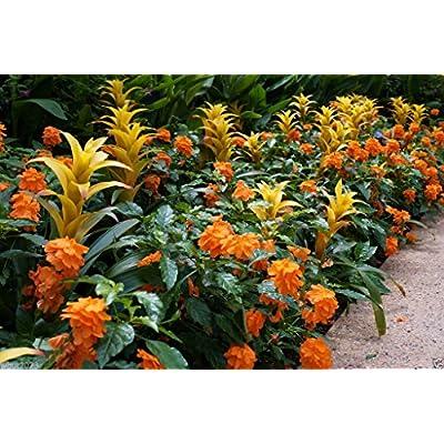 Crossandra Seeds, orange Marmalade -Firecracker Flower- Very Rare Tropical Plant : Garden & Outdoor