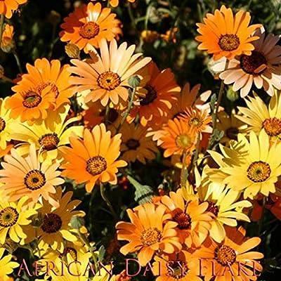 African Daisy Flake Flower Seeds, Daisy Flower Seeds, 1500+ Premium Heirloom Flower Seeds, Beautiful & Fantastic addition to your home flower garden! Popular!, (Isla's Garden Seeds), 80-85% Germination : Garden & Outdoor