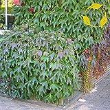BOSTON IVY Parthenocissus Tricuspidata 10,20 SEEDS