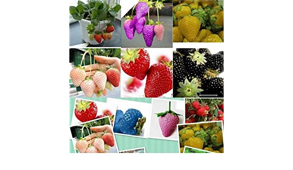NEW STRAWBERRY GIANT EVERBEARING 40 seed LARGEST FRUIT