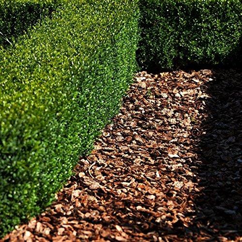 Buxus sempervirens arborescens 0,5 L Topf von PFD Hoher Buchsbaum