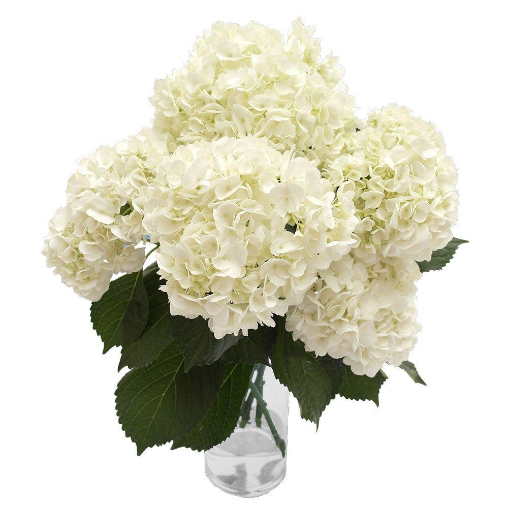 GlobalRose 40 Fresh Cut White Hydrangeas - Fresh Flowers For Weddings or Anniversary. by GlobalRose (Image #3)