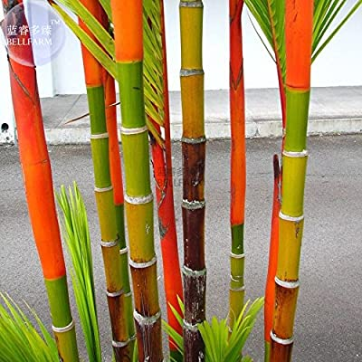 New Lipstick Palm Cyrtostachys Renda Tree, 10+ seeds