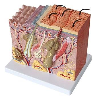 LUCKFY Modelo de anatomía de la Piel Anatomía Humana 4D ...