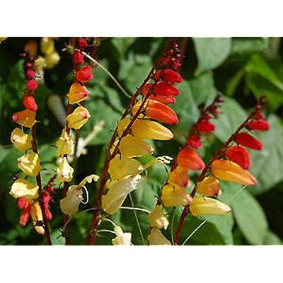 20 Seeds Mina Lobata Exotic Love Vine Garden tkgre : Garden & Outdoor