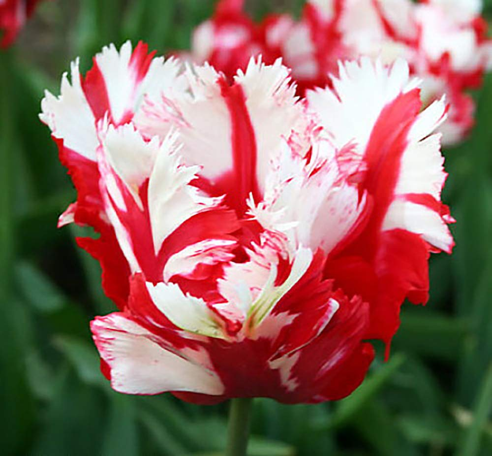 Estella Rijnveld Parrot Tulip 10 Bulbs - Exotic Blooms - 12/+ cm Bulbs