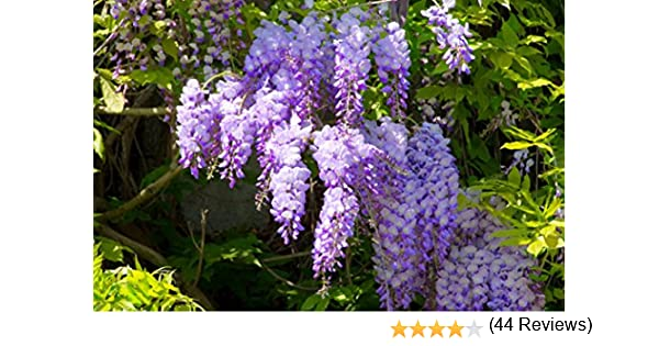 Wisteria sinensis - Bailarina de escalada, varios tamaños: Amazon ...