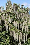 1 Starter Plant of Garrya Elliptica 'James Roof' - Silktassel
