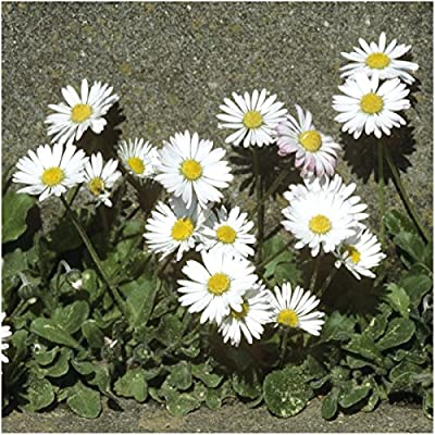 "Package of 1,000 Seeds, English Daisy ""Single White"" (Bellis perennis) Seeds By Seed Needs"