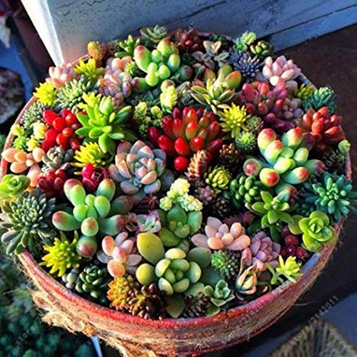 LI&HI 100 Pcs Mixed Succulent Anti-Radiation Fleshy Seeds Potted Flower Cacti & Succulents