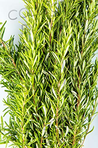 Fresh Rosemary for Garland, Floral Arrangement, Birthday, Anniversary & Funeral Long Lasting, Decoration for Wedding, Event, Everyday, Occasion Gift.