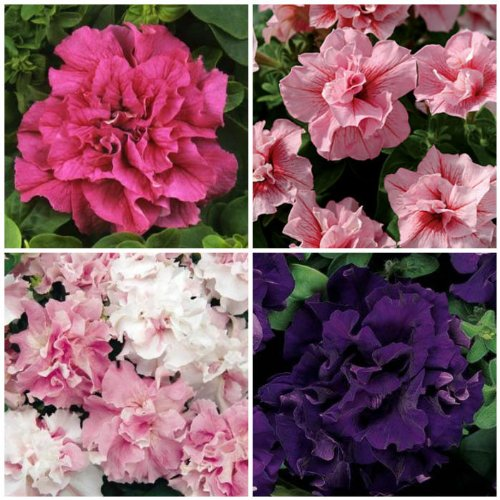 Gorgeous Double Cascade Petunia Seed Mix - My Secret Gardens