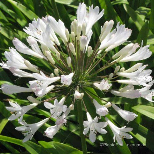 Schmucklilie, Agapanthus africanus Albus 2 L Co. VDG-Stauden