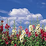 Fordhook Giant Hollyhock Mix 50 Seeds -Alcea-Perennial