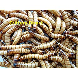 "Live Superworms, GUT LOADED !!! (Qty-100) (Large (2+""))"